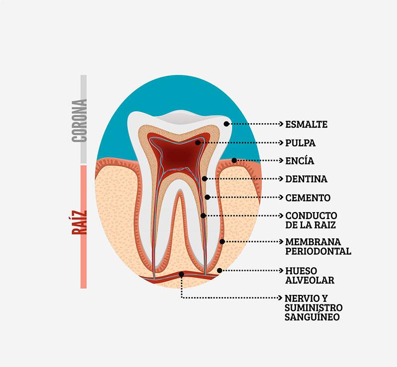 Qués es una Endodoncia